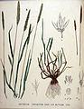 Gastridium lendigerum — Flora Batava — Volume v20.jpg