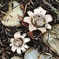 Geastrum saccatum 98979428.jpg