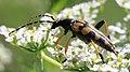 Gefleckter Schmalbock Rutpela maculata 0290.jpg