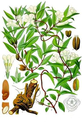 Carolina-Jasmin (Gelsemium sempervirens), Illustration