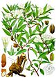 Gelsemium sempervirens - Köhler–s Medizinal-Pflanzen-065.jpg