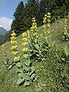 Gentiana lutea 090705.jpg