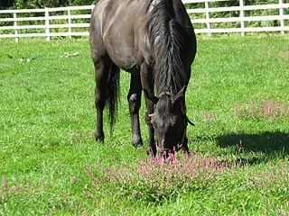 Genuine (horse) Japanese-bred Thoroughbred racehorse