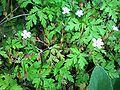 GeraniumRobertianum001.JPG