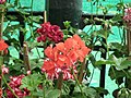 Geranium Double ivy from Lalbagh flower show Aug 2013 7905.JPG