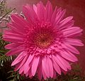 Gerbera flower rose.jpg
