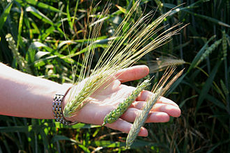 Ear (botany) - Unripe ears of barley, wheat, and rye.