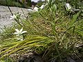 GewoneVogelmelk-plant2-kl.jpg