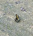 Giant Swallowtail (Papilio cresphontes) (5996723146).jpg