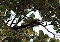Giant squirrel from Parambikulam T R.jpg