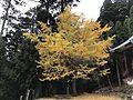 Ginkgo biloba in Hikosan Shrine.jpg