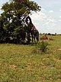 Giraffe Couple under shade.jpg