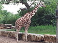 Giraffe at the Sedgwick County Zoo 2013 2013-09-01 13-15.jpg
