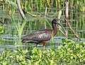 Glossy ibis in JBWR (50138).jpg