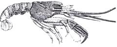 Glyphea pseudastacus, a fossil glypheoid