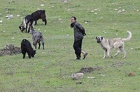 berger turc kangal