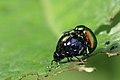 Grüner Sauerampferkäfer Gastrophysa viridula 2920.jpg