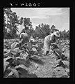 Granville County tobacco farmers.jpg