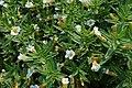 Gratiola officinalis kz05.jpg