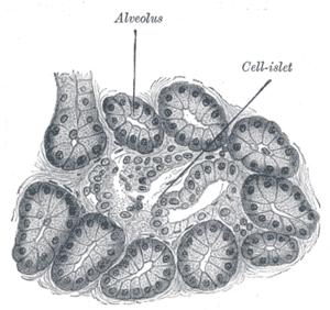 Alveolar gland - Section of pancreas of dog. X 250.