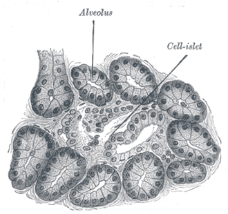 Acinus - Illustrated section of pancreas of dog. X 250. (Alveolus labeled at center top.)