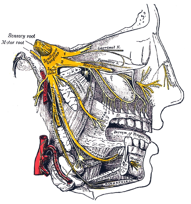 Facial anatomy from the side