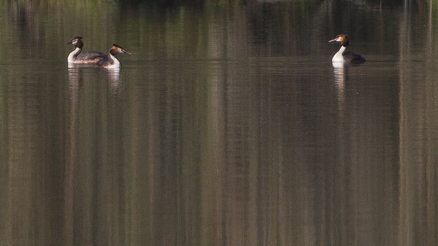 Great-crested Grebe Khangchendzonga Biosphere Reserve West Sikkim India 24.04.2016