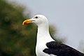 Great Black-backed Gull (7551163868).jpg