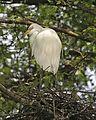 Great Egret (Ardea alba modesta) - Flickr - Lip Kee (4).jpg