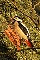 Great Spotted Woodpecker (Dendrocopos major) - Oslo, Norway 2020-12-23 (01).jpg