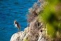 Great blue heron (38476977654).jpg