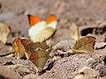 Great orange tip from Melagiri TN IMG 6421.jpg
