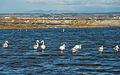 Greater Flamingos, Lido de Thau, Sète 05.jpg