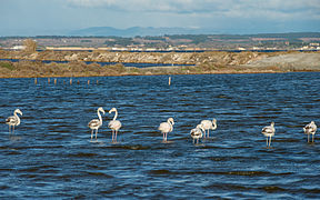 Greater Flamingos, Lido de Thau, Sète 05.jpg