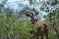 Greater Kudu in Kruger National Park.JPG