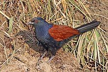 Greater coucal (Centropus sinensis).jpg