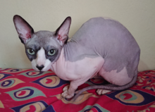 GreekSphynxCat1.png