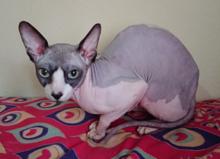 buy sphynx kitten