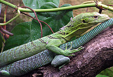 Monitor lizard - Wikipedia, the free encyclopedia
