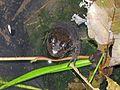 Green Frog - Flickr - GregTheBusker.jpg