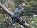 Green Imperial Pigeon RWD5a.jpg