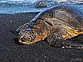 Green Sea Turtle (chelonia mydas) basking on Punalu'u Beach.jpg