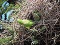 Green parrots at Parque por la Paz Villa Grimaldi - Santiago Chile - Peace Park (5277468411).jpg