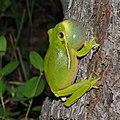 Green treefrog (Hyla cinerea), Montgomery Co. Texas, USA (April 2014).jpg