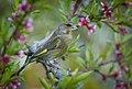 Greenfinch (46769051705).jpg