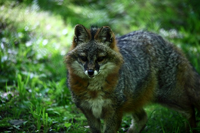 grey fox, West Virginia