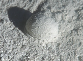 Gromia in situ closeup.png