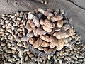 Groundnut of Tamilnadu.jpg