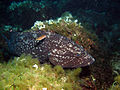 Grouper (Epinephelus marginatus).JPG