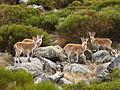 Grupo de Capra pyrenaica victoriae.jpg